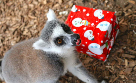 Christmas came early to Yorkshire Wildlife Park as rangers deliver special presents to all the animals