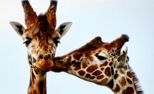 Giraffes at the award-winning Yorkshire Wildlife Park share a chilly Valentine's Day smooch.